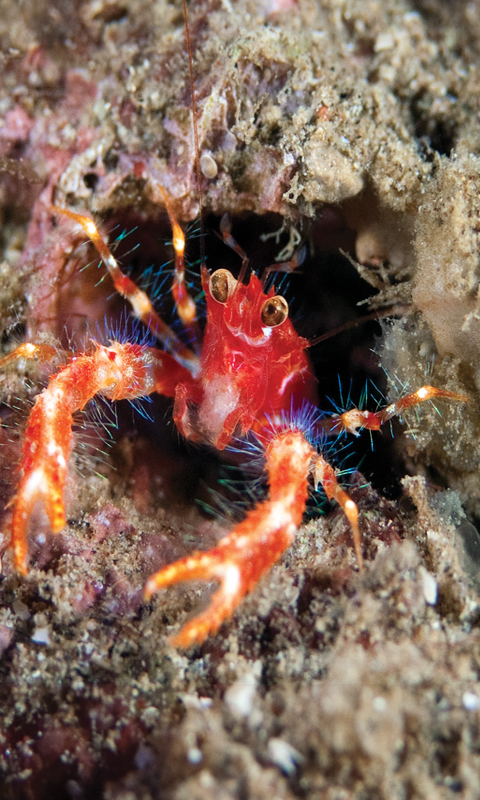 Bug-Eyed Squat Lobster