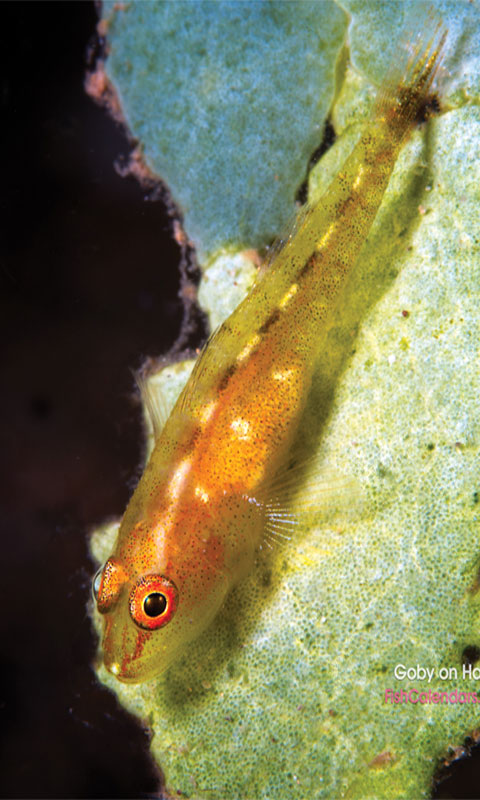 Goby on Halimeda Algae