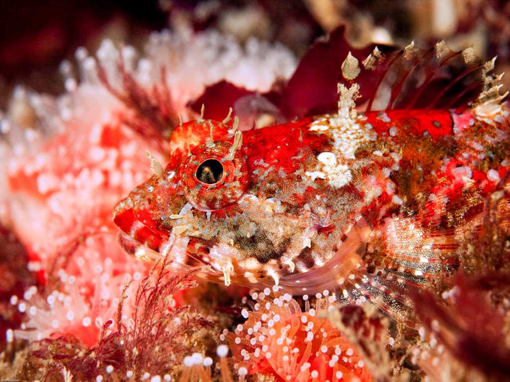 Red Sculpin Fish